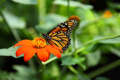 Monarch butterfly on flower. Monarch butterfly feeding on orange mexican sunflower royalty free stock images
