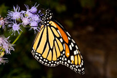 Monarch butterfly on a flower. This is a side view of a monarch butterfly on some flowers royalty free stock image