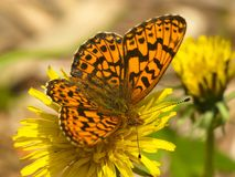Monarch butterfly on flower. Beautiful monarch butterfly feeding on yellow dandelion flower macro Royalty Free Stock Photos