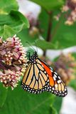 Monarch butterfly on flower. Close-up macro view of Monarch Butterfly on flower Stock Images