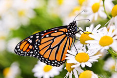 Monarch butterfly on flower. Colorful monarch butterfly sitting on chamomile flowers stock images