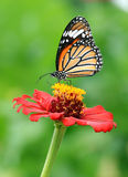 Monarch Butterfly on flower royalty free stock photos