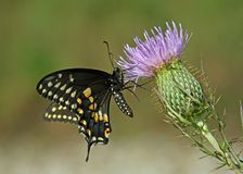 Monarch butterfly on flower. Graceful Monarch butterfly perched on a purple flower Royalty Free Stock Photography