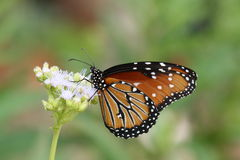 Monarch Butterfly. A monarch butterfly on a flower Royalty Free Stock Images