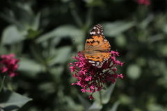 Monarch Butterfly at the flower in Botanical Garden in Baku Azerbaijan Stock Image