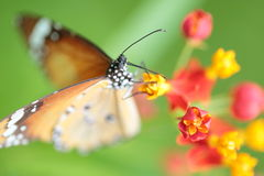 Monarch Butterfly on Flower Stock Image