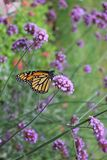 Monarch Butterfly on a flower. Closeup of a Monarch butterfly on a flower royalty free stock photos