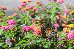 Monarch butterfly on a flower. Closeup of a Monarch butterfly on a flower stock photo