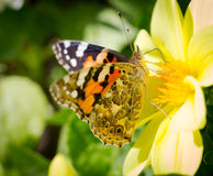 Monarch Butterfly on flower. Royalty Free Stock Photo