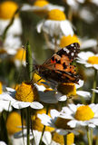 Monarch butterfly on flower. Colorful monarch butterfly sitting on chamomile flowers royalty free stock photo