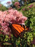 Monarch Butterfly. A Monarch Butterfly on a flower in Duluth, Minnesota stock photos