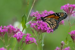 Monarch Butterfly on Flower in Field. Monarch Butterfly on Flower on a purple flower in a field stock photography