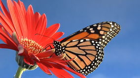 Monarch butterfly on flower flies away stock footage