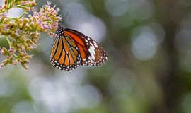 Monarch butterfly on the flower. Monarch butterfly in the garden Stock Photography