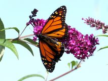 Toronto Lake Monarch butterfly on the flower 2017 Royalty Free Stock Photography