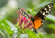 Monarch Butterfly on flower. Monarch Butterfly on green plants in nature royalty free stock photography