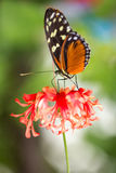 Monarch Butterfly on flower royalty free stock image