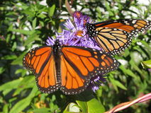 Monarch butterfly on a flower Royalty Free Stock Photo