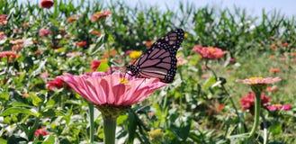 Monarch Butterfly on Flower. Monarch butterfly lands on flower royalty free stock photo
