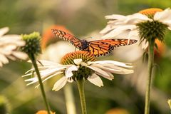 A monarch butterfly in a flower with open wings. A monarch butterfly on a white flower during a sunny day with vibrant colors. Orange and black wing colors royalty free stock images