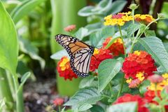 Monarch butterfly on a flower in the park. Orange monarch butterfly, resting on a red and yellow flower, feeding. Sunny summer day, colorful background stock image