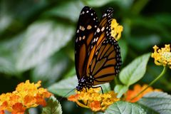 This is a monarch butterfly on a flower. This is a picture of a monarch butterfly on a flower royalty free stock image