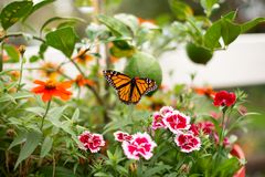 Monarch Butterfly in a flower pot. Monarch Butterfly in the Garden royalty free stock images