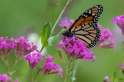 Monarch Butterfly on Flower in Field. Monarch Butterfly on Flower on a purple flower in a field stock image