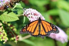 Monarch Butterfly on flower stock photo