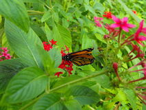 Monarch butterfly. This is a monarch butterfly on flower ,this was taken in florida Royalty Free Stock Images