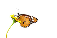 Monarch butterfly  on a flower Stock Photography