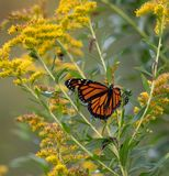 Monarch Butterfly on Flower in Field royalty free stock photography