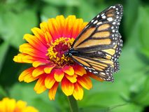 Monarch, Butterfly, Flower, Zinnia Royalty Free Stock Photography