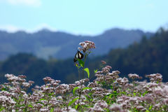 Monarch butterfly in flowering field, Japan autumn. Nature photo of Fujibakama flower in country side and monarch butterfly in Kyoto Japan stock photography