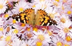 Monarch butterfly on flowers. Beautiful monarch butterfly on purple flowers royalty free stock image