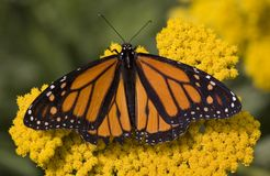 Monarch Butterfly on flowers. A beautiful orange and black monarch butterfly sitting on yellow flowers Royalty Free Stock Photos