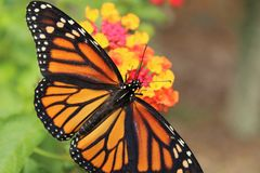 Monarch butterfly on flowers royalty free stock images
