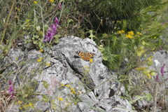 Monarch butterfly an flowers Royalty Free Stock Photography