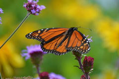 Monarch butterfly in the flowers. Royalty Free Stock Image