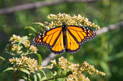 Monarch Butterfly on flowers stock image