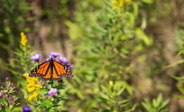 Monarch butterfly. On flowers with it's wings spread stock photos