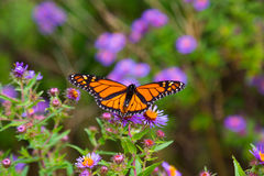 Monarch butterfly. On flowers with it's wings spread stock photography
