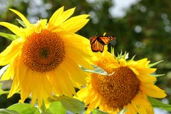 Summer Flight. A Monarch Butterfly flutters around giant Sunflower blossoms on a bright summer afternoon stock photos