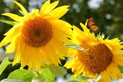 Monarch Butterfly at Giant Sunflowers royalty free stock photography