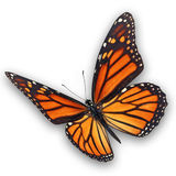 Monarch butterfly flying Stock Photos