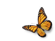 Monarch Butterfly Flying in Corner. On White Background Royalty Free Stock Photos