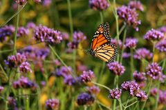 Monarch. Butterfly flying past flowers stock photo