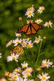 Monarch  Butterfly. Monarch Butterfly flying a round the city Royalty Free Stock Image