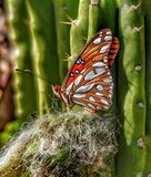 A Monarch Butterfly with folded wings rests on a thorny western California cactus. A Monarch Butterfly folds its wings as it stops to rest on a western stock images