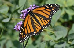 Monarch butterfly full display feeding on purple verbena Royalty Free Stock Photography